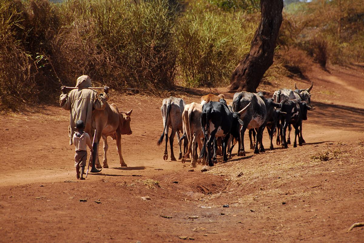 Apoyar los ganaderos nómadas en África